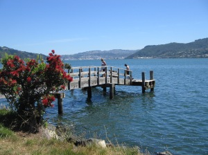 Pohutukawa tree, just a baby one, in full bloom by Dunedin Harbour