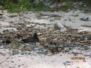 Nesting oystercatcher on Tiri. It's nest is just a scrape in the sand.