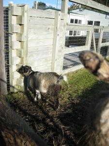 Masport the goat