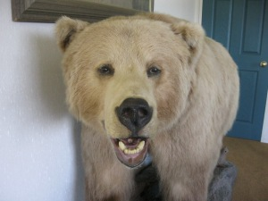 The brown bear, a grizzly, stuffed that keeps me company in Katikati