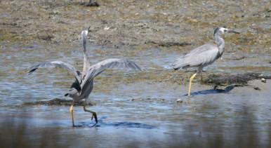 white-faced heron chasing off a poacher